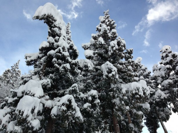Christmas Trees in Nozawa