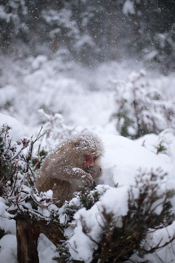 The ever photogenic snow monkeys.