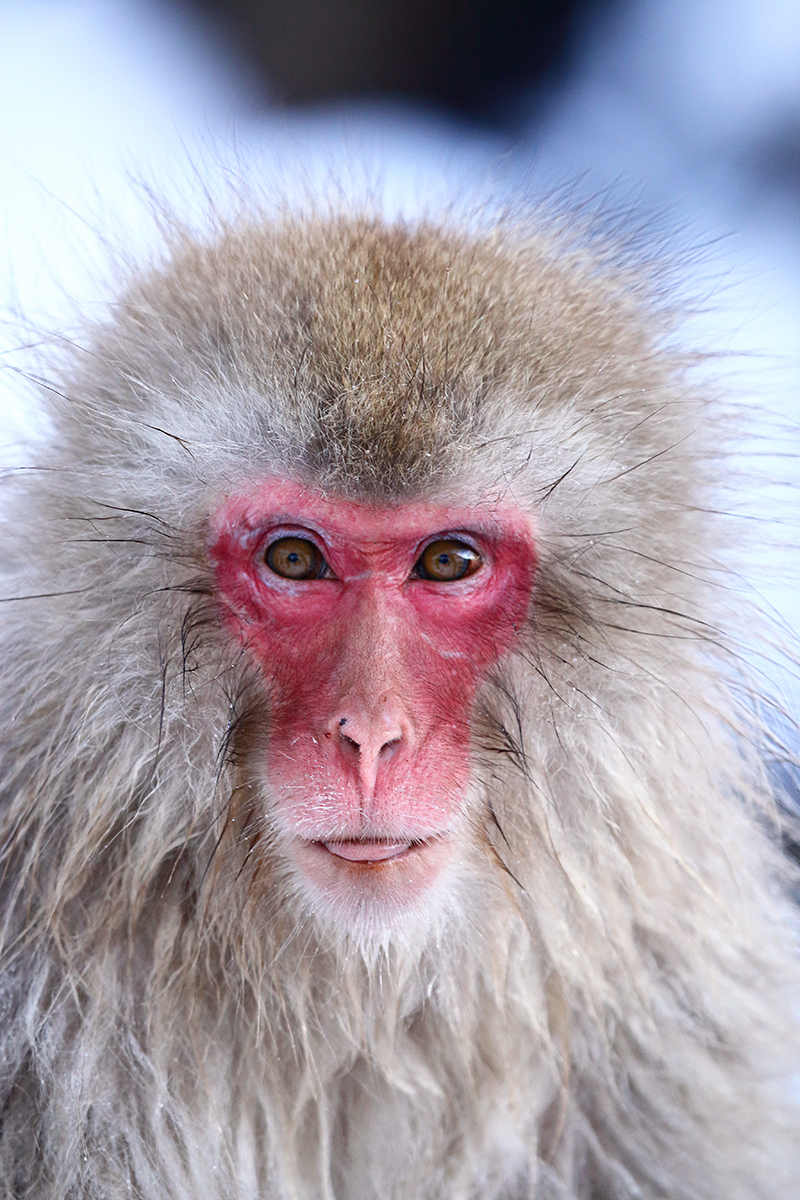 Japan Snow Monkeys Nozawa