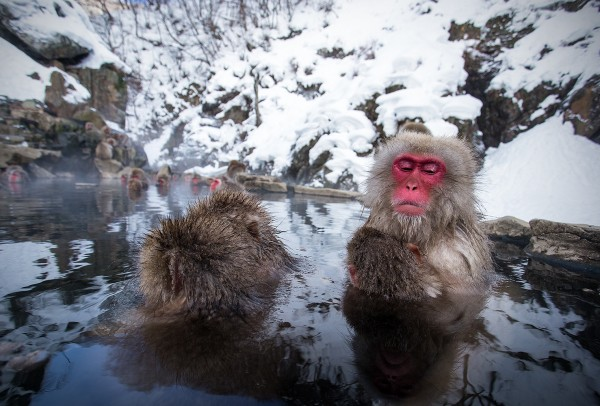 Yudanaka snow monkeys.