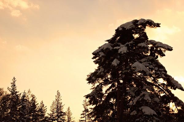 Sunset pines.