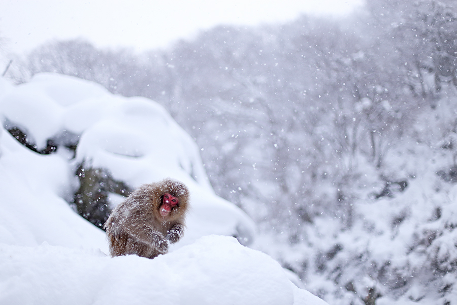 Feeding snow monkey